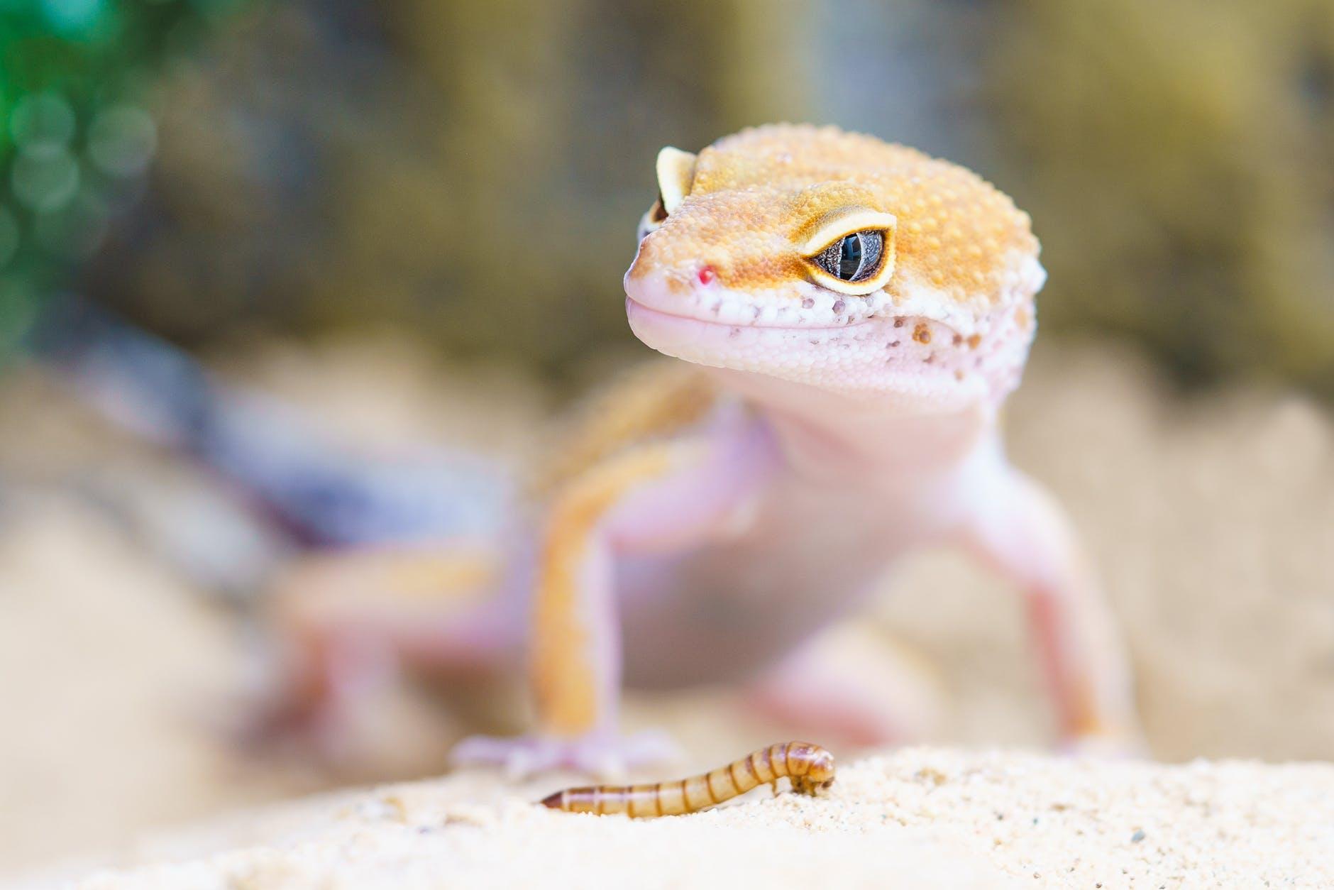 A lizard in the wild