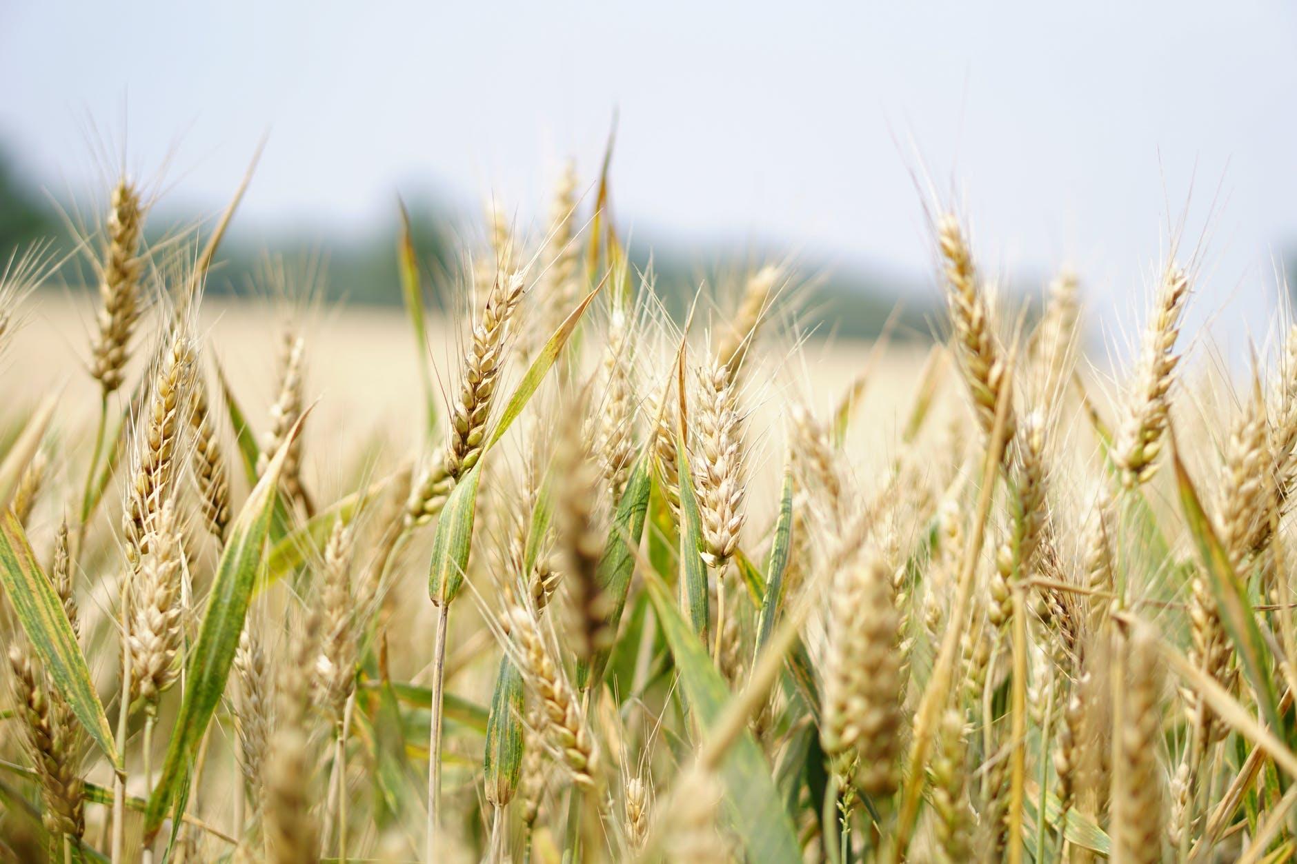 A field of grain crops.