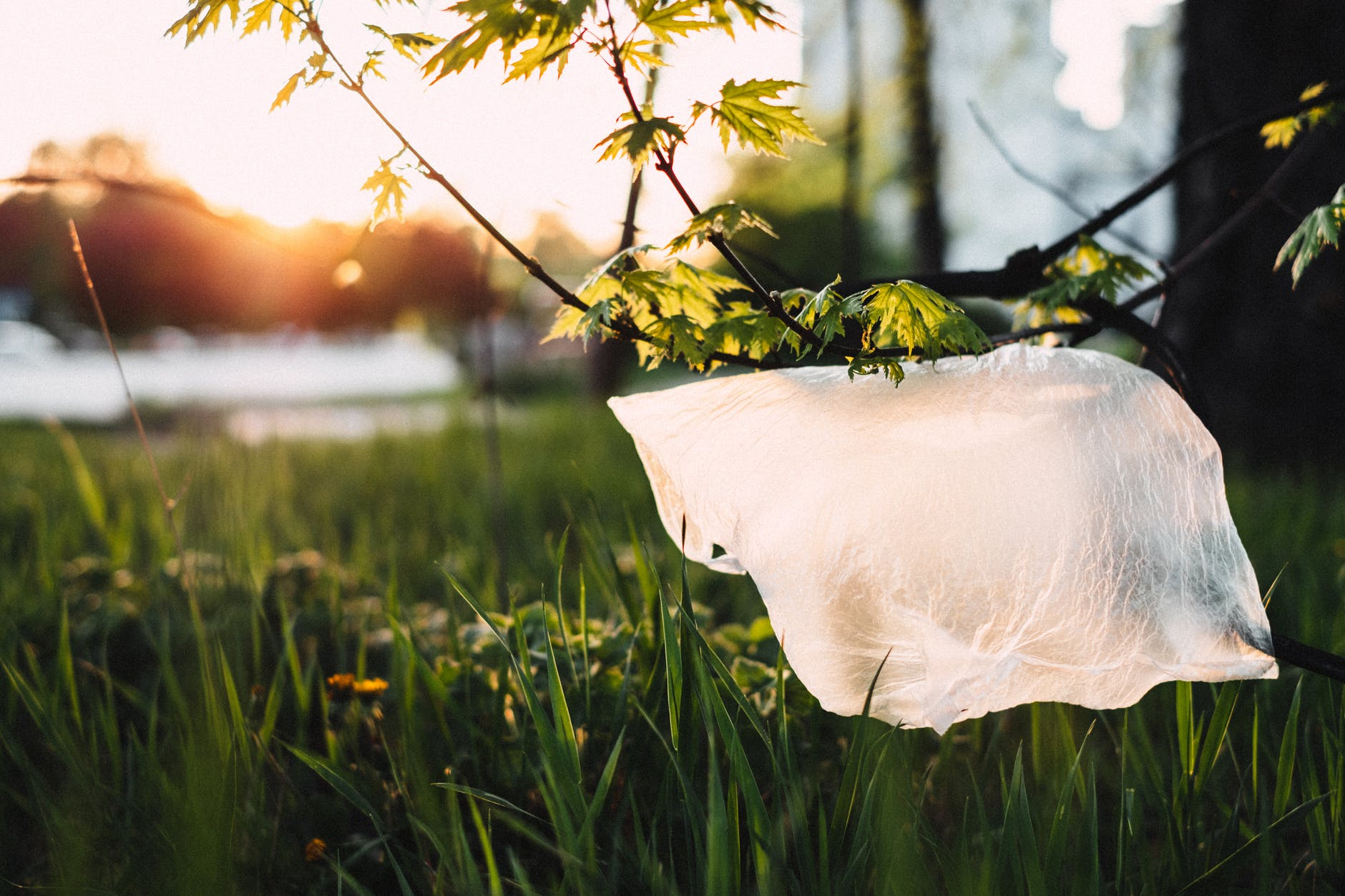 A plastic bag hanging by the twig of the tree over grass.